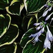 Flowering Hosta Art Print