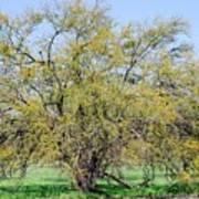 Flowering Huisache Tree  Art Print