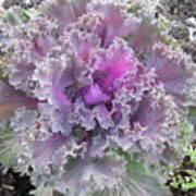 Flowering Kale Art Print