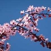 Flowering Of The Plum Tree 4 Art Print