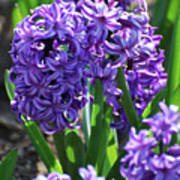 Flowering Purple Hyacinthus Flower Bulb Blooming Art Print