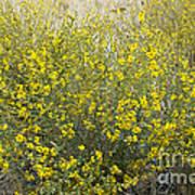 Flowering Tarweed Art Print