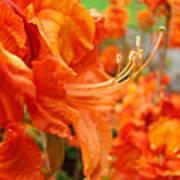 Flowers Azalea Garden Orange Azalea Flowers 1 Giclee Prints Baslee Troutman Art Print