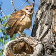 Fluffed Up Barn Owl Owlet Art Print
