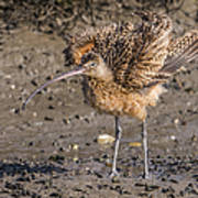 Fluffy Long-billed Curlew Art Print