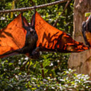 Flying Foxes Art Print