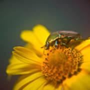 Focused June Beetle Art Print