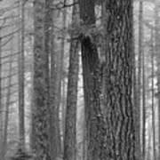 Fog In The Pines Art Print