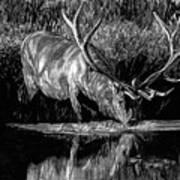 Forest Royal Bull Elk Art Print