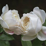Forever And Always - Desdemona Roses Art Print
