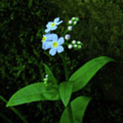 Forget-me-not Art Print