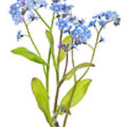 Forget-me-not Flowers On White Art Print