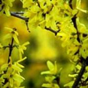 Forsythia At The Hacienda Art Print