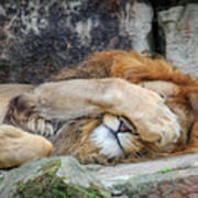 Fort Worth Zoo Sleepy Lion Art Print