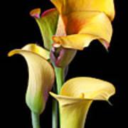 Four Calla Lilies Art Print by Garry Gay