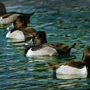 Four Ducks In A Row Art Print