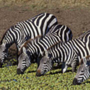 Four For Lunch - Zebras Art Print