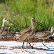 Four Marbled Godwits Art Print