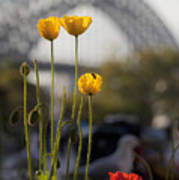 Four Poppies With Harbour Bridge Backdrop Art Print