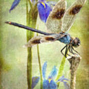 Four Spotted Pennant And Louisiana Irises Art Print by Bonnie Barry