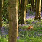 Fox In Bluebells Art Print