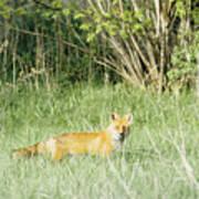 Fox In Meadow Art Print