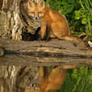 Fox Reflection Art Print