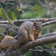 Fox Squirrel On A Branch  Art Print