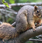 Fox Squirrel On A Branch - Southern Indiana Art Print
