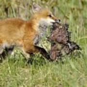 Fox With Dinner Art Print