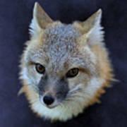 Foxburst Art Print