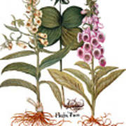 Foxglove And Herb Paris Art Print