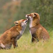 Foxy Love- Kiss Art Print