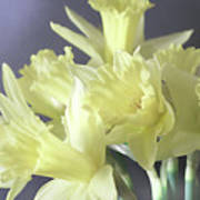 Fragile Daffodils Art Print