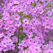 Fragrant Phlox Art Print