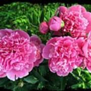 Fragrant Pink Peonies Art Print