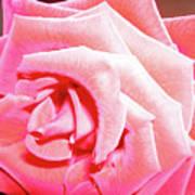 Fragrant Rose Art Print