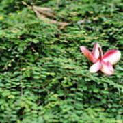 Frangipani Flower Art Print