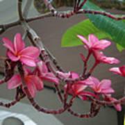 Frangipani Flowers Art Print