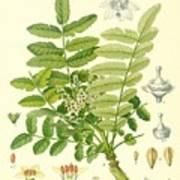 Frankincense Art Print