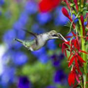 Freedom Hummingbird Art Print