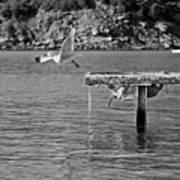 Freedom Is A Seagull Name Black And White Art Print