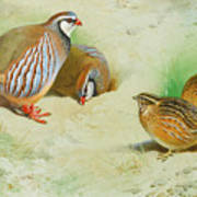 French Partridge By Thorburn Art Print