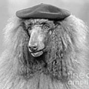 French Poodle Wearing Beret, C.1970s Art Print