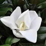 Fresh Magnolia Art Print