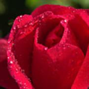 Fresh Rose Art Print