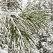 Fresh Snow Covers Needles On A Pine Art Print