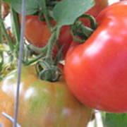 Fresh Tomatoes Ahead Art Print