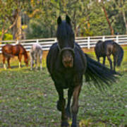 Friesian Horses - Pasture Art Print