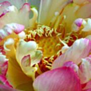 Frilly Lotus Art Print